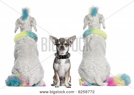 Rear View Of Colored Poodles With Mohawks And Chihuahua With Piercings Sitting In Front Of White Bac