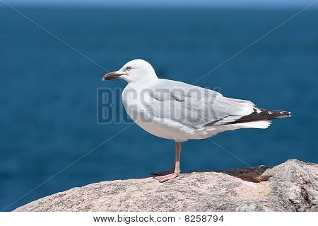 Seagull Sitting On A Rock Near The Sea
