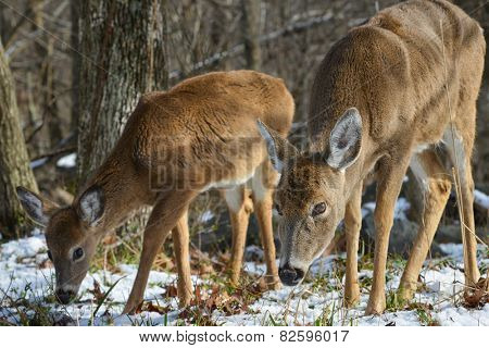 American White Tail Deer grazing in winter forest