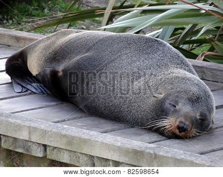 Fur Seal Sleeping on the Boardwalk, New Zealand