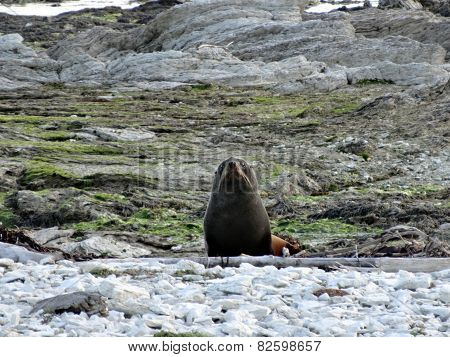 Curious Fur Seal Pup, New Zealand