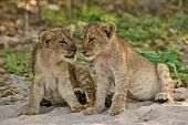 stock photo of sub-saharan  - Two lion cubs seems to talk to each other - JPG