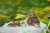 picture of duck  - Duck family on the rock near the water - JPG