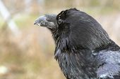 stock photo of raven  - Common raven (Corvus corax) in the forest
