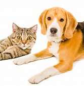 Постер, плакат: Beagle dog and cat Scottish Straight