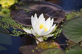 image of lillies  - White perfect water lilly in a pond
