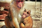 picture of baby-monkey  - Shaggy baby monkey looking curiously while suckling its mother