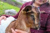 stock photo of baby goat  - Little girl holding the small goat - JPG