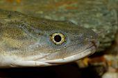 stock photo of snakehead  - Nice portrait of fish from genus Channa - JPG