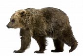 Brown Bear, 8 Years Old, Walking In Front Of White Background