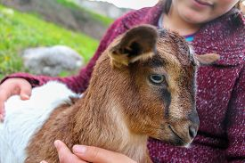 pic of baby goat  - Little girl holding the small goat - JPG