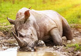 picture of herbivore animal  - South African wild rhino bathing in the mud - JPG