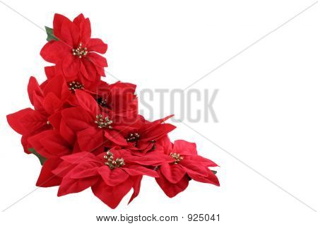 Pointsettias