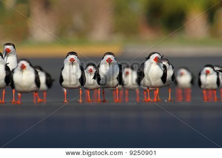 Flock Of Black Skimmers