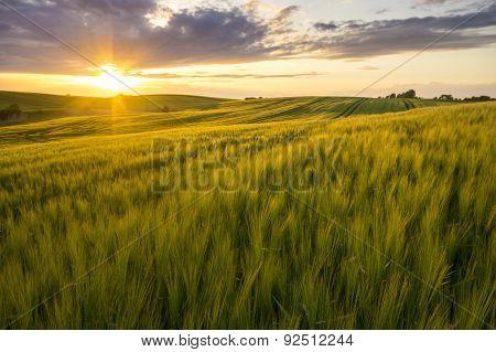 Grain field in the sundown