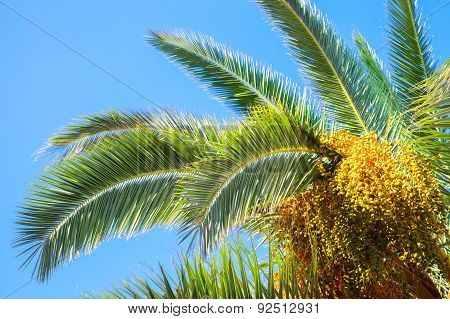 Palm Tree Leaves And Dates Over Blue Sky
