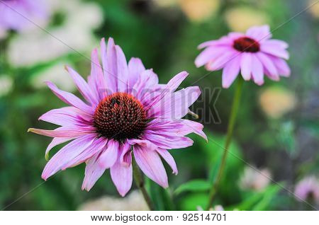Purple Echinacea Flower Close Up