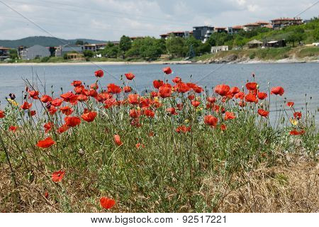 poppies on the beach 6