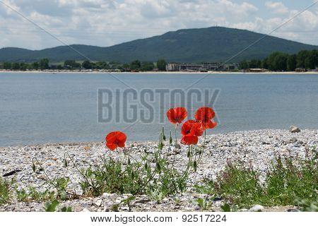 poppies on the beach 7