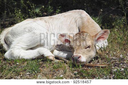 Touching Cute Calf Lying On Green Grass, Cute Baby Animals