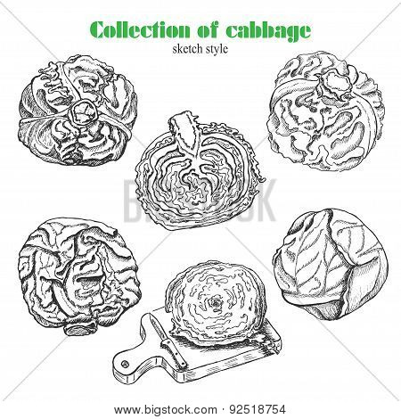 Vector Collection Of Cabbage In Sketch Style