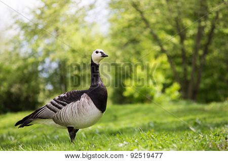 Single Barnacle Goose On Green Grass