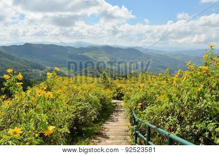 Pathway On Mexican Sunflower Mountain At Maehongson Thailand