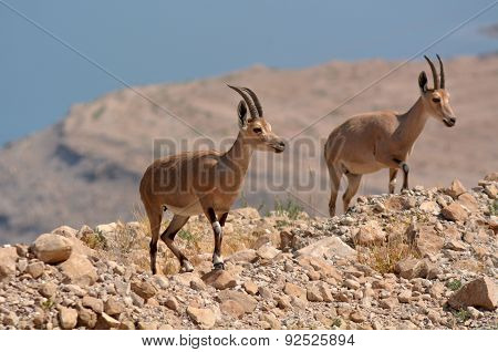 Ibex Mountain Goats