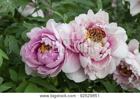 Blossoming bush of peony