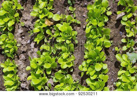 Detail Of Vegetable Garden