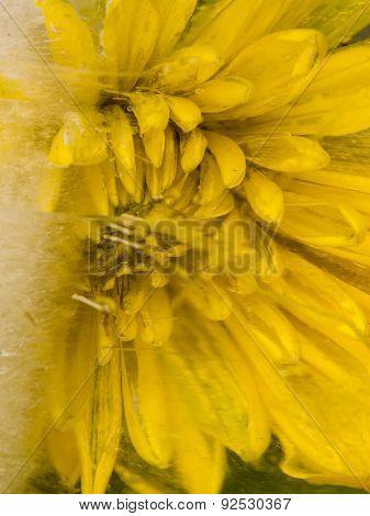 Yellow Chrysanthemum In The Ice