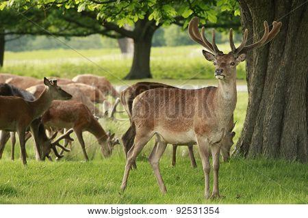 Red Deer herd grazing