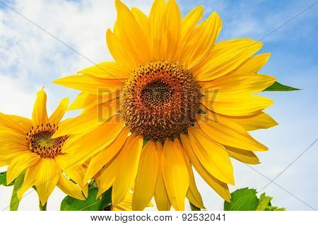 Sunflower Against The Blue Sky, Yellow Sunflower