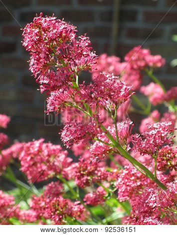 Beautiful Red Valerian Flowers