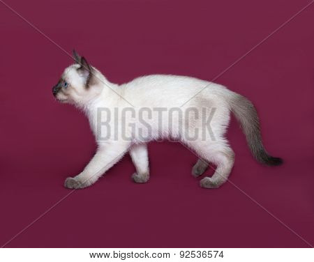 Thai White Kitten Going On Burgundy