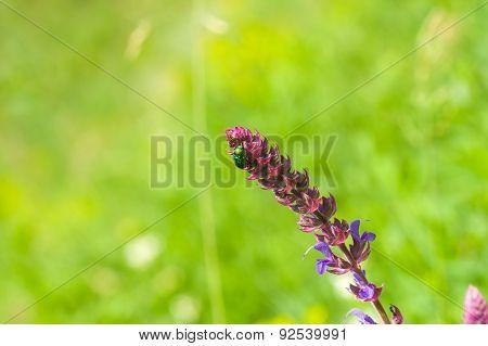 Salvia (sage) in a wild field