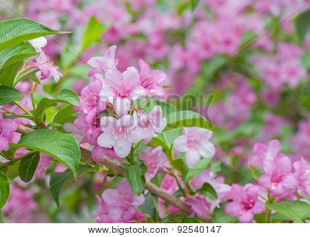 Welcome to garden world of Weigela
