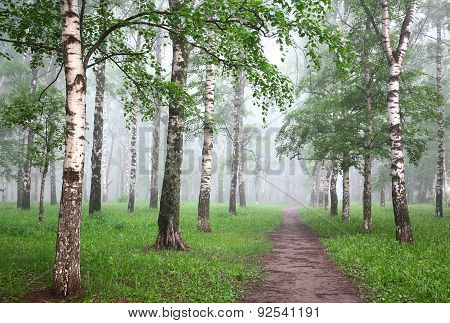 Morning Mist Birch Forest
