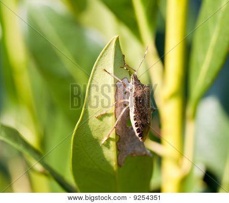 Stink Bug Eating Leaf