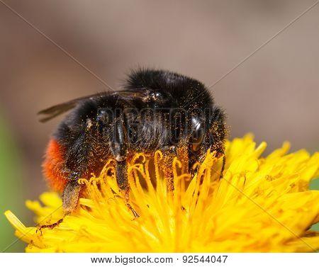 Bumblebee On Dandelion