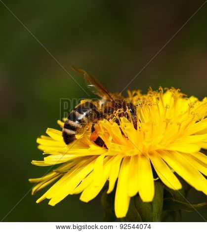 Honeybee Pollinated Flower