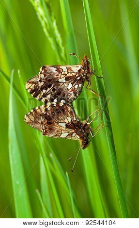 The Couple Butterfly Breeding