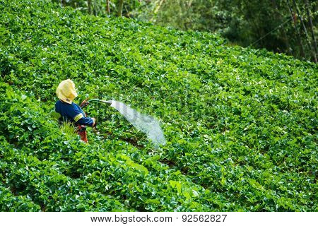 Farmers Watering In The Garden Strawberry
