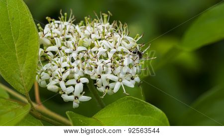 Yellow Twig Dogwood. Unusual White Bloom Cluster with Leaves and Ant.