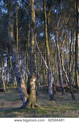 Silver Birch Trees, UK