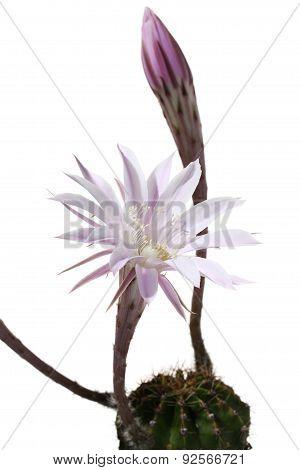 lily cactus Echinopsis flower on white background