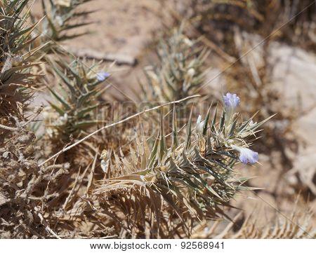 Blepharis ciliaris flowers