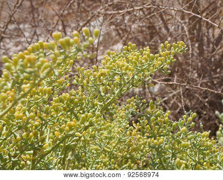 Zygophyllum album in bloom