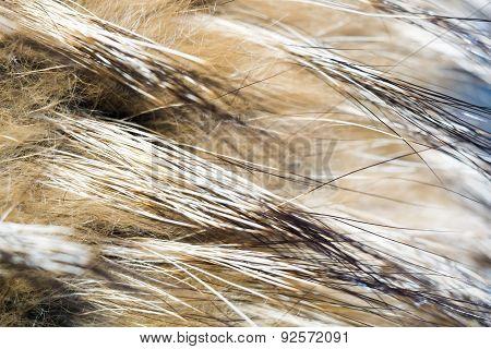 Macro Of Raccoon Fur