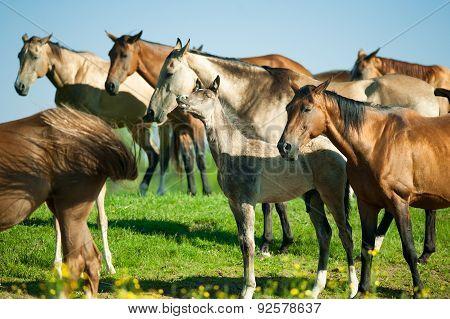 Akhal-teke Horses Herd On The Morning